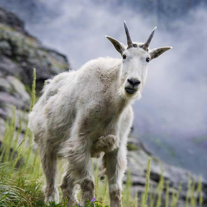 Les chèvres des montagnes Rocheuses ont un drôle de look !
