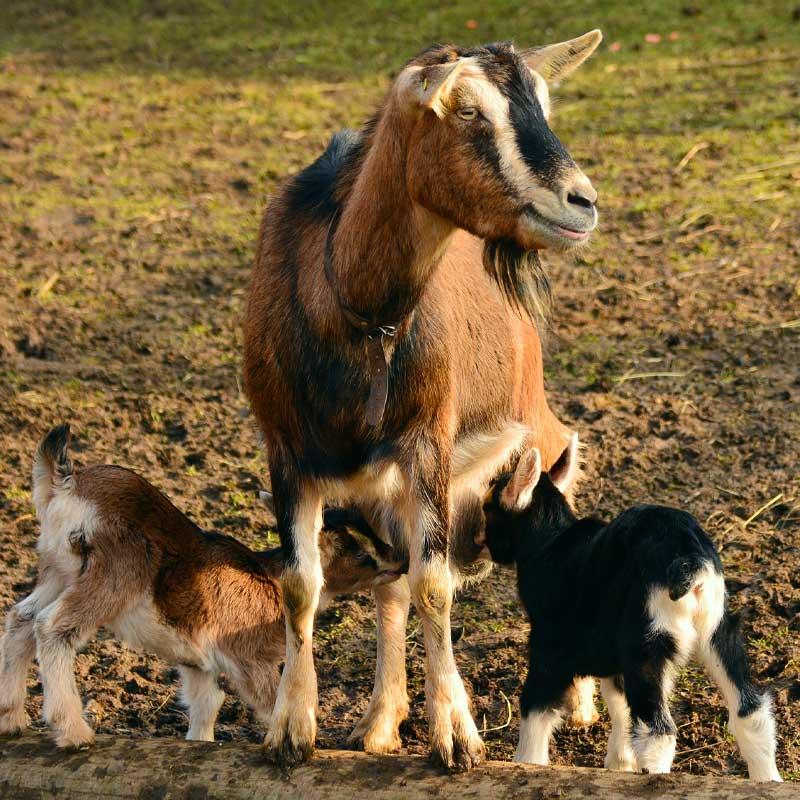 Après avoir été séparées de leurs petits, les chèvres se rappellent de leurs bêlements pendant une année.