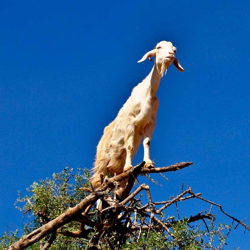 Eh oui, les chèvres sont d'excellentes grimpeuses !