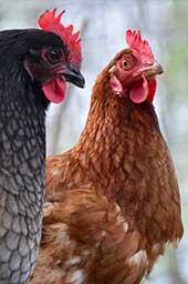 Interdiction élevage des poules en cage à Washington
