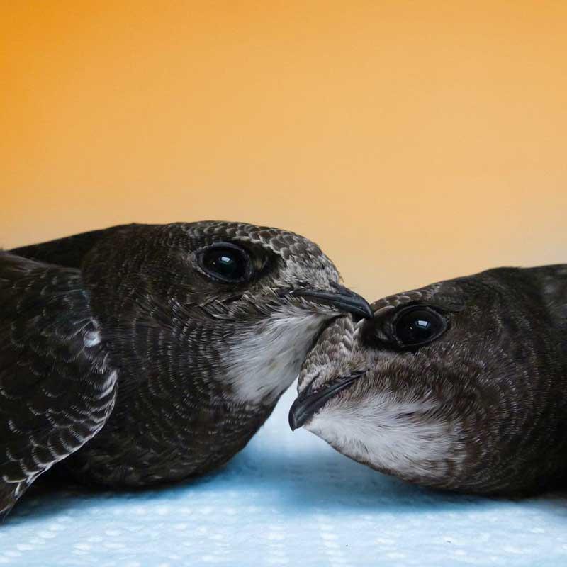 Les jeunes martinets noirs sont victimes du réchauffement climatique.
