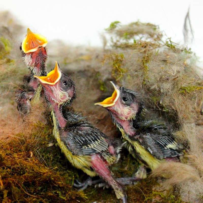 Les soigneurs nourrissent les oisillons jusqu'à 15 fois par jour... Ces bébés mésanges ont déjà bien faim !