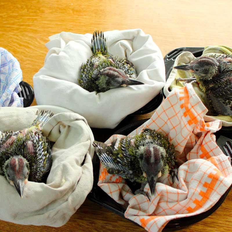 Tombés du nid, ces jeunes pics verts ont pu être sauvés !
