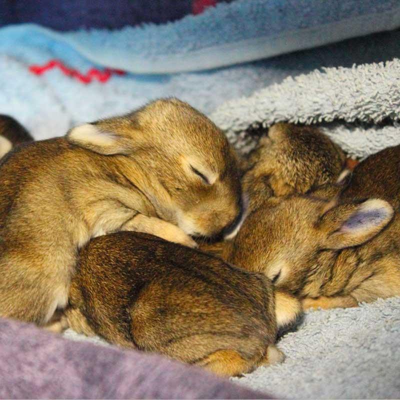Les lapins orphelins s'endorment : à l'Hirondelle, ils sont en sécurité.