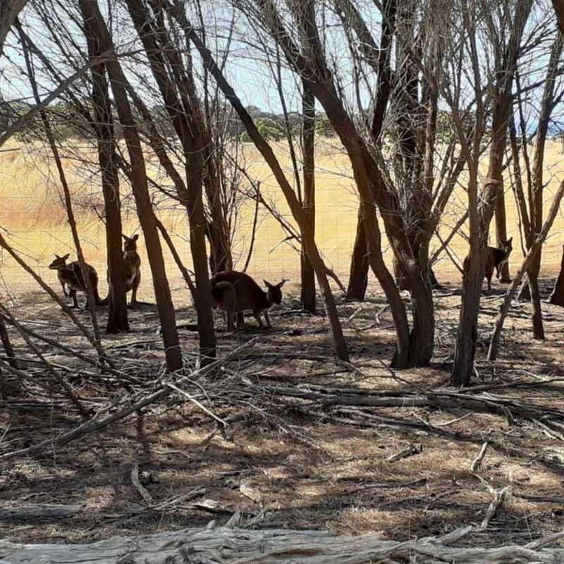 Ces kangourous, qui ont survécu aux feux, devront être relocalisés.