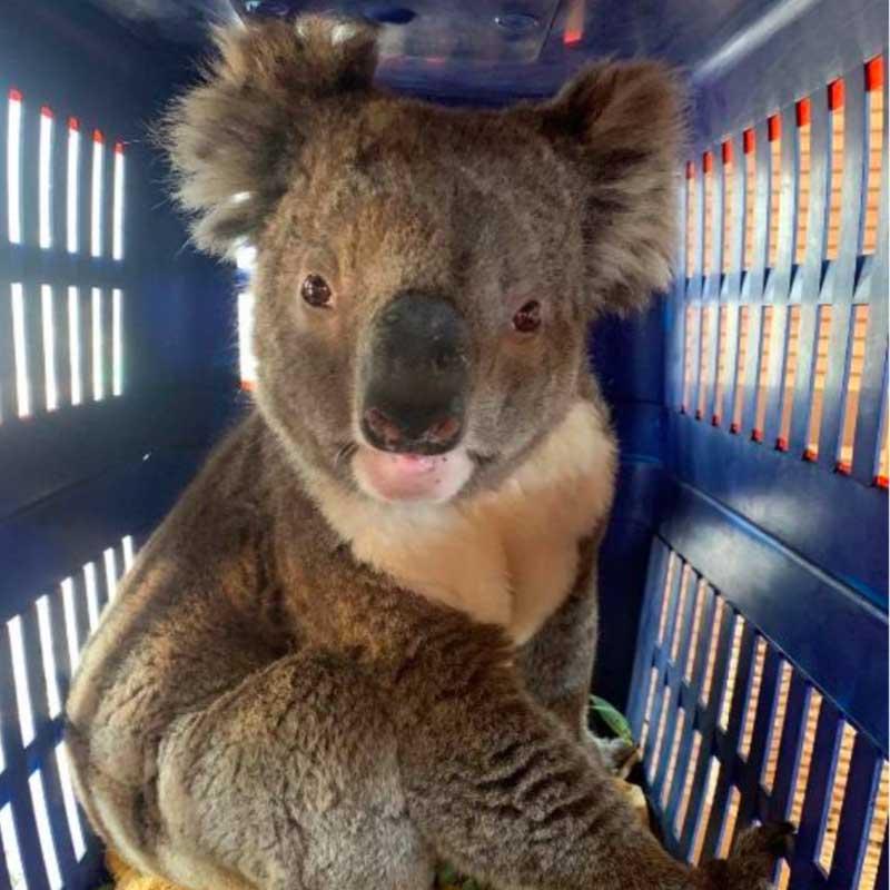 Ce koala, prénommé Simon, n'avait que des blessures superficielles.