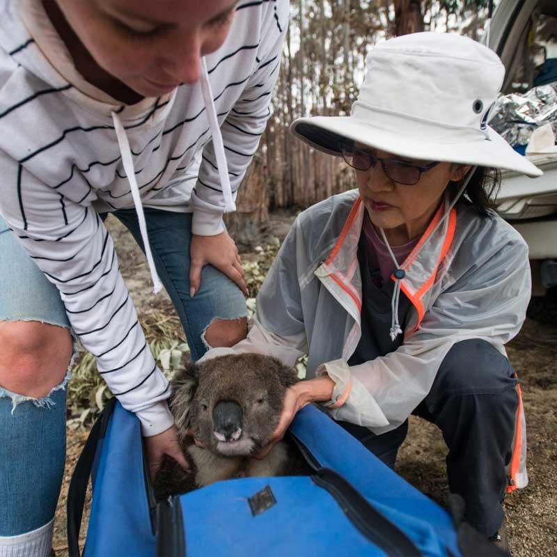 Ce koala en détresse est amené vers la tente de soins.