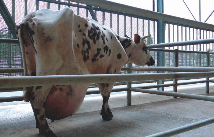 Vache laitière au pis énorme
