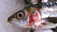 photo de poisson