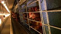 L'élevage en cage des poules pondeuses