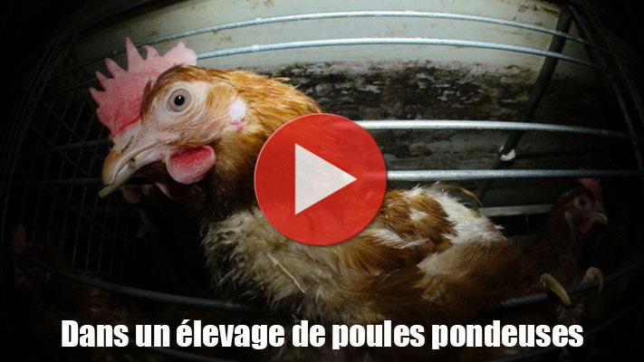 Oeufs et poules pondeuses thique et animaux for Duree de vie des poules pondeuses