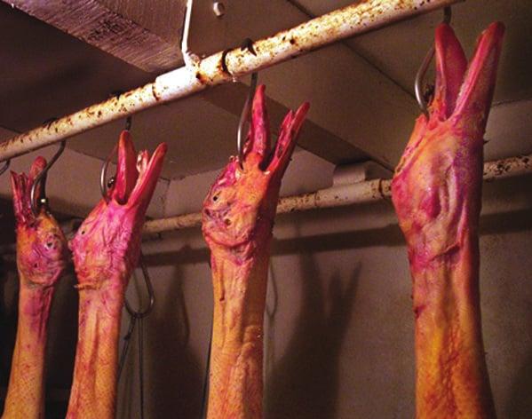 Photo de canards morts déplumés et suspendus à des crochets
