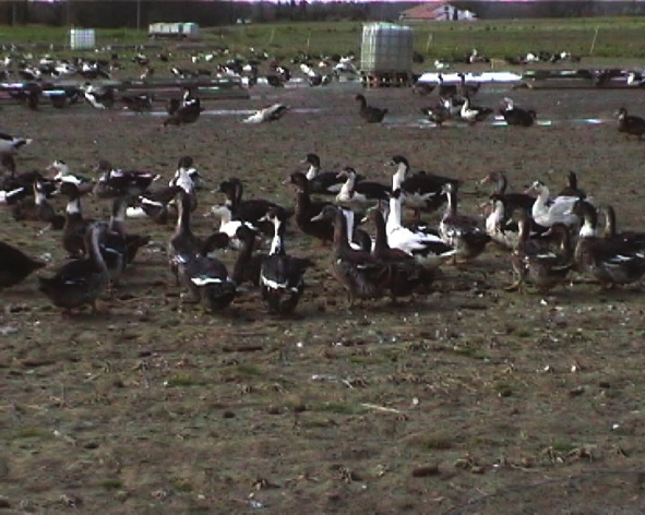 Photo de jeunes canards parqués