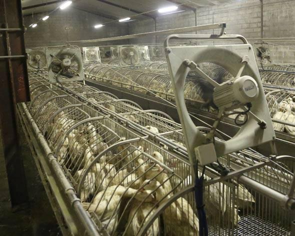 Photo des cages individuelles qui emprisonnent les canards