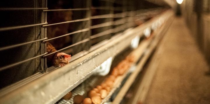 Poule en élevage intensif