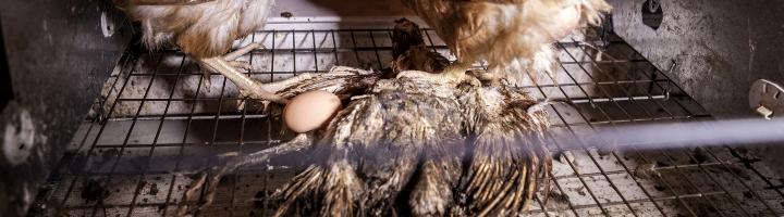 Photo d'un lapereau mort dans une fosse