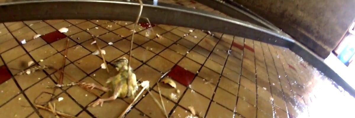 Lapin mutilé dans sa cage