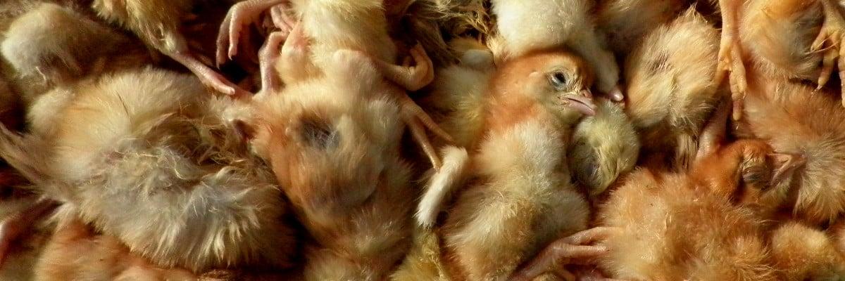 Lapin en souffrance dans sa cage