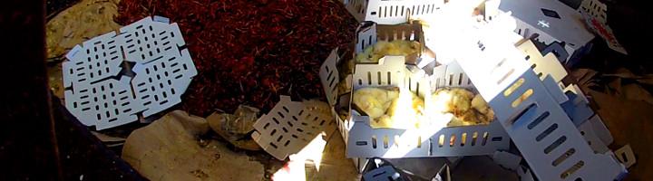 Photos de poussins vivants jetés dans une benne