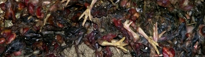 Photo d'un amas de corps de poussins déchiquetés