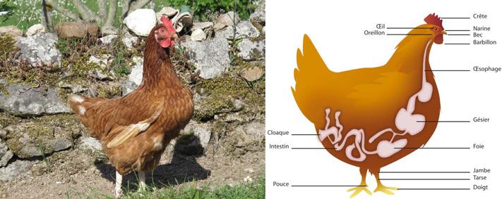Coq et schéma poule