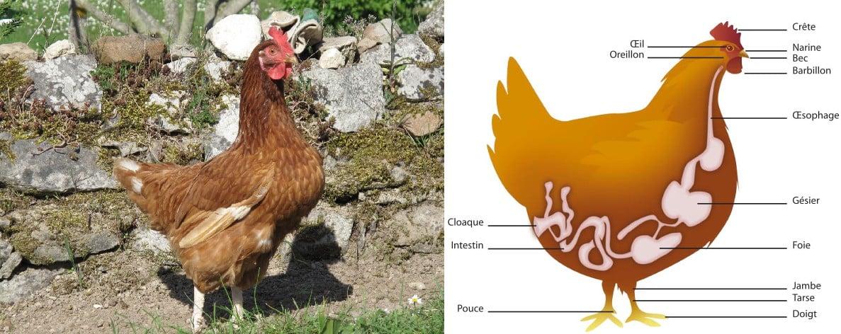 Intelligence et vie sociale des poules et des poulets thique et animaux - Image d une poule ...