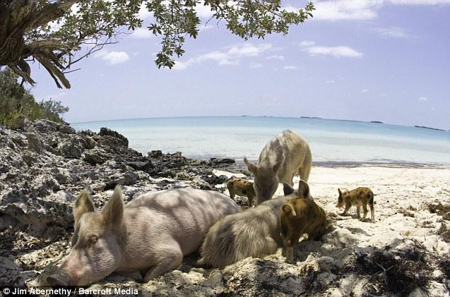 Les cochons à la plage