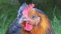 Une mère poule