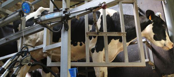 vache traite