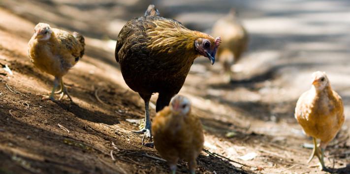 poules libres de Kauai