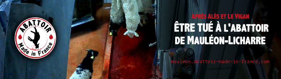 Abattoir : nouvelles violences et agonies révélées par L214