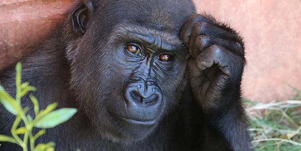 Gorille position réflexion