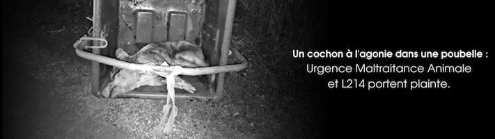 cochons à l'agonie dans un élevage de Loire-Atlantique