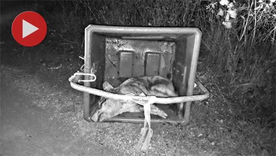 un cochon à l'agonie dans une poubelle