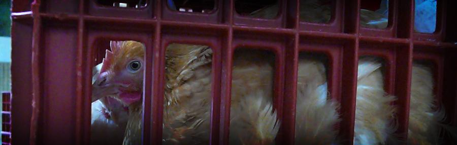 Poule dans une cage à l'abattoir