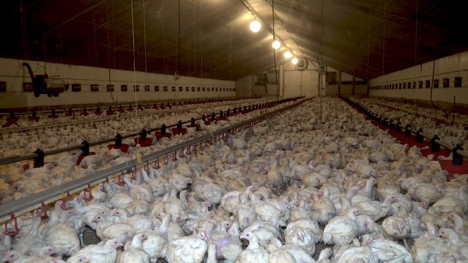 À l'intérieur d'un élevage Doux de poulets