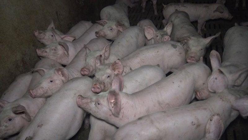 des cochons entassés dans un élevage partenaire Hénaff