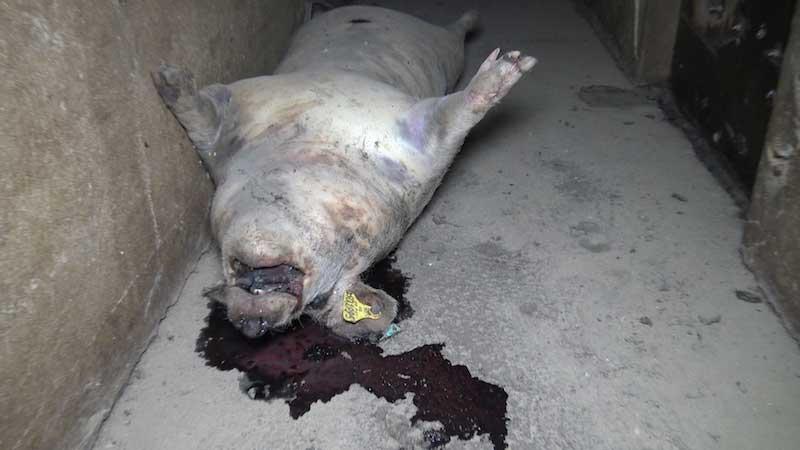 cadavre en putréfaction d'un cochon dans les couloirs d'un élevage partenaire Hénaff.