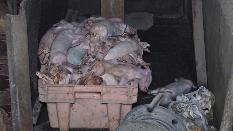 Tas de cadavres de porcelets dans la salle de maternité d'un élevage partenaire d'Hénaff
