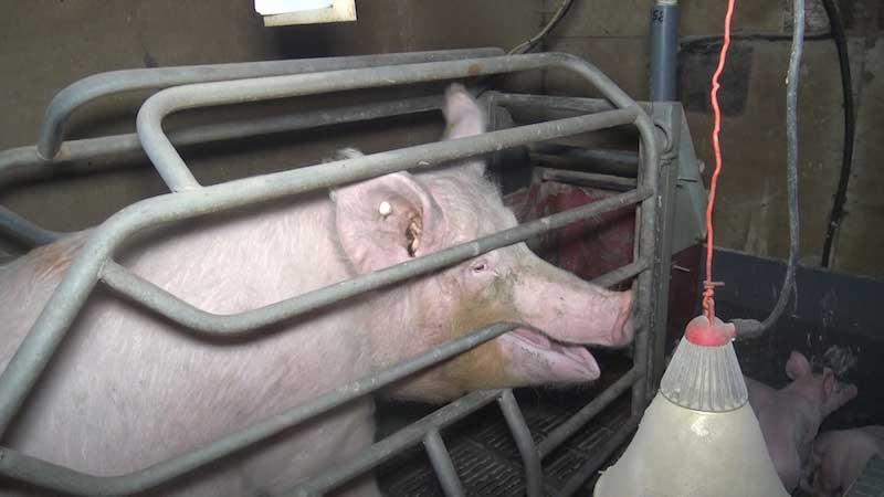 truie dans sa cage de maternité dans un élevage partenaire Hénaff