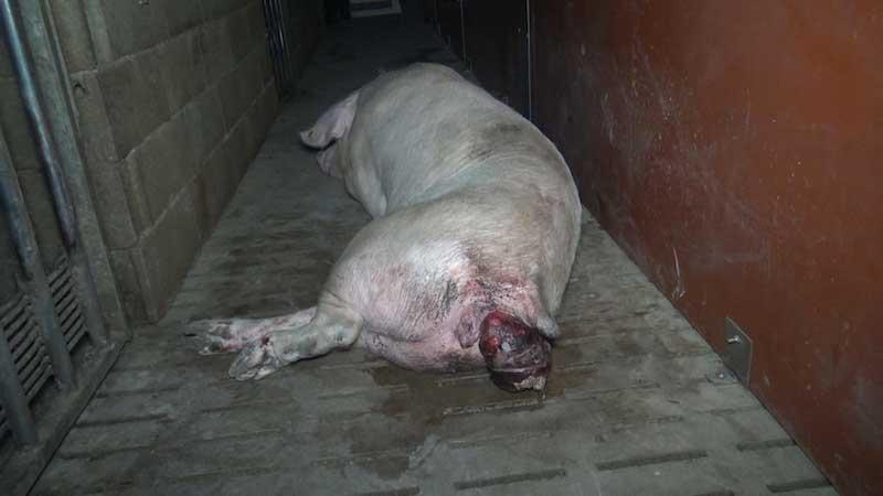 une truie souffre d'un prolapsus dans un élevage partenaire Hénaff
