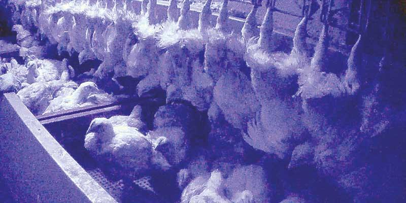 À l'abattoir, les poulets sont suspendus par les pattes, vivants et conscients.