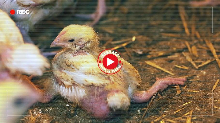 Elevage : une vie de misère pour les poulets Doux