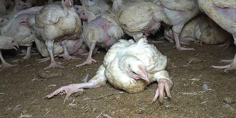 Dans les élevages standard, ⅓ des poulets sont boiteux.
