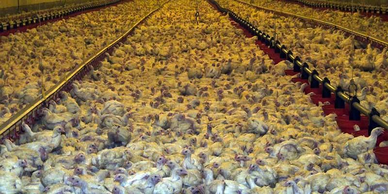 Des dizaines de milliers de poulets sont entassés dans un seul bâtiment.