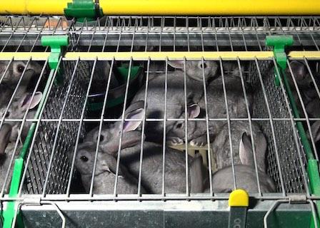lapereaux entassés – Enquête de L214 dans un élevage de lapins Oryalg.