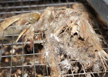 Cadavre de poule – Enquête de L214 dans un élevage des Côtes d'Armor.
