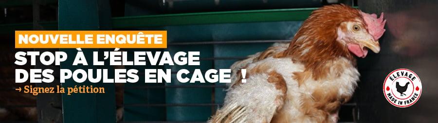 enquête poules cage