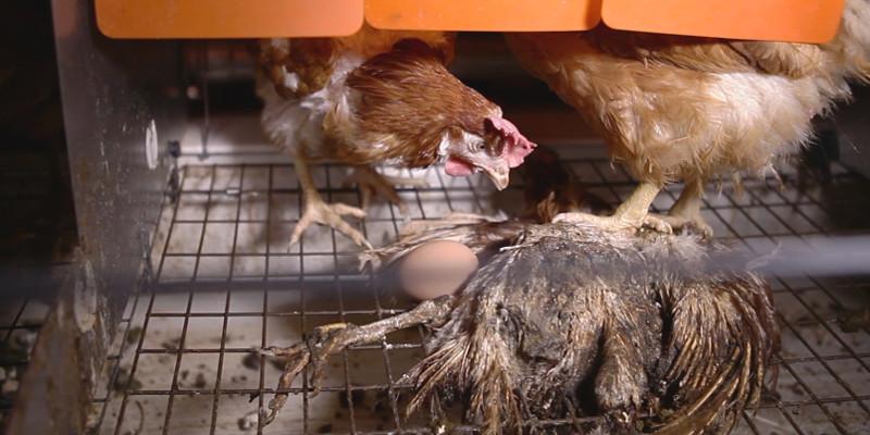 Cadavre de poule momifiée - GAEC du Perrat 2016