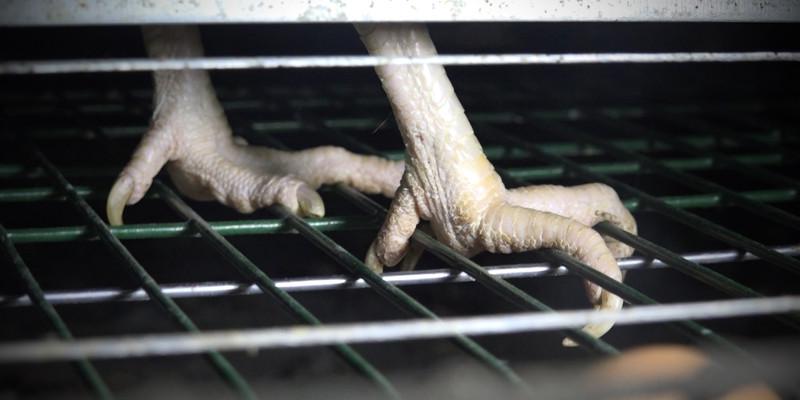 Cage au sol grillage - GAEC du Perrat 2016